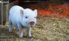 养猪、遛狗、养鸡能赚钱,骗了谁?