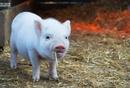 养猪、遛狗、养对杨真真说道鸡能赚钱,骗了谁?