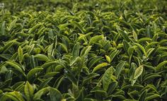 中国电商茶行业发展趋势分析